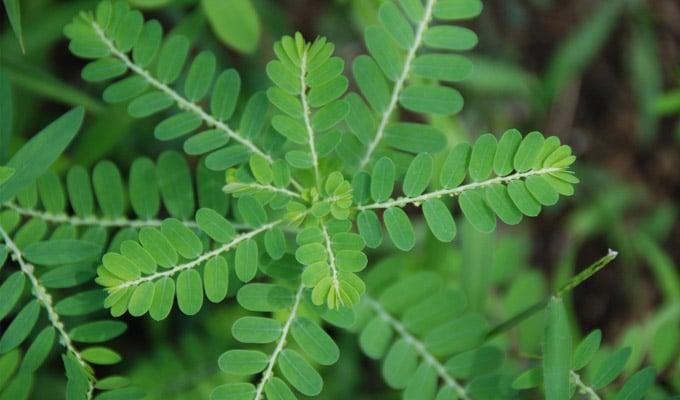 efectele secundare ale corpului subțire din plante pierderea în greutate derivată tga