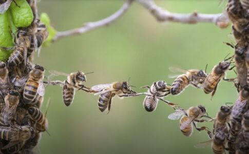Venin de albine beneficii