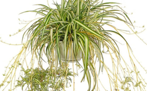 Planta paianjen beneficii