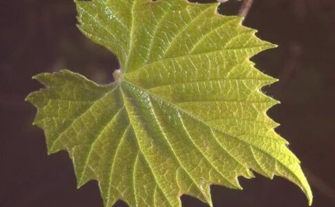 Beneficiile frunzelor de vita de vie