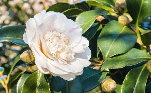 camellia sinensis Beneficii