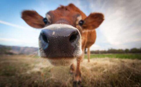 urina de vaca beneficii